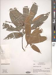 Quercus brenesii Trel.