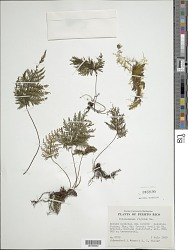 Abrodictyum rigidum (Sw.) Ebihara & Dubuisson