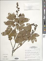 Machaerium quinatum var. parviflorum (Benth.) Rudd