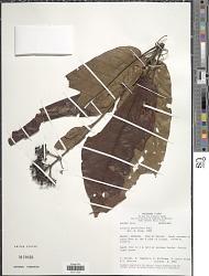 Isertia parviflora Vahl