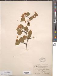 Crataegus pruinosa var. cognata (Sarg.) J.B. Phipps