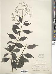 Psychotria diffusa var. diffusa