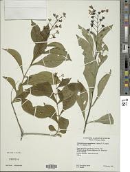 Chileranthemum pyramidatum (Lindau) T.F. Daniel