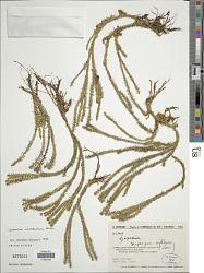 Phlegmariurus eversus (Poir.) B. Øllg.