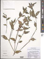 Commelina benghalensis L.