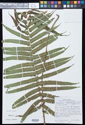 Sphaerostephanos maemonensis (W.H. Wagner & Grether) Holttum