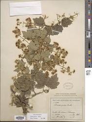 Clematis grossa Benth.