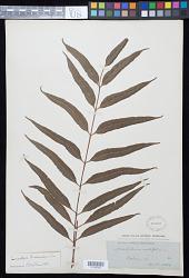 Lomariopsis brackenridgei Carrière in Seem.