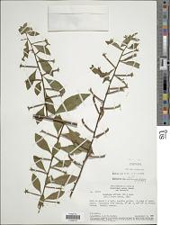 Ludwigia affinis (DC.) H. Hara