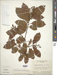 Zanthoxylum monophyllum (Lam.) P. Wilson