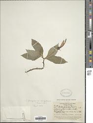 Centropogon ferrugineus (L. f.) Gleason