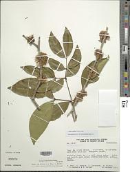 Zygia cauliflora (Willd.) Killip