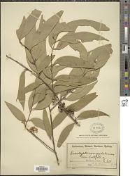Eucalyptus amygdalina