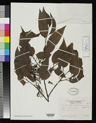 Curupira tefeensis G.A. Black