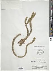 Phlegmariurus reflexus (Lam.) B. Øllg.