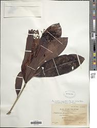 Psychotria crassifolia