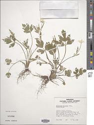 Ranunculus hispidus Michx. var. hispidus