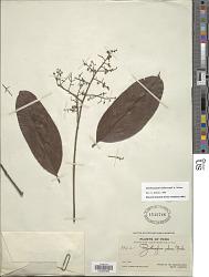 Zanthoxylum kellermannii