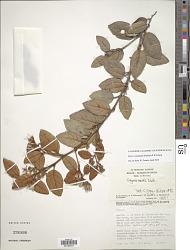 Styrax rotundatus (Perkins) P.W. Fritsch