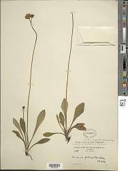 Lachnorhiza piloselloides A. Rich.