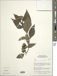 Clibadium sylvestre (Aubl.) Baill.