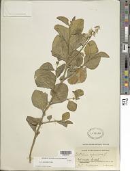 Crotalaria verrucosa L.