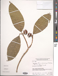 Ficus radula Humb. & Bonpl. ex Willd.