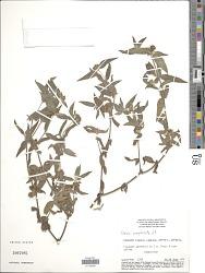 Unxia camphorata L. f.