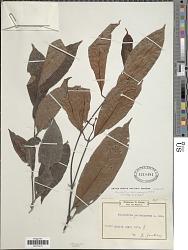 Psychotria camerunensis E.M.A. Petit
