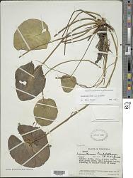 Nymphoides indica (L.) Kuntze