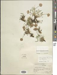 Trifolium dasyphyllum Torr. & A. Gray