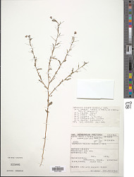 Hermannia modesta (Ehrenb.) Mast.