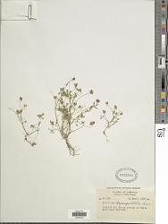 Trifolium depauperatum Desv.
