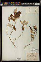 Croton pseudopulchellus Pax
