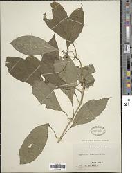 Psychotria brachyantha Hiern
