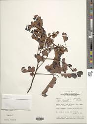 Mimosa rufescens Benth. var. rufescens