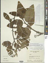 Varronia nesophila (I.M. Johnst.) Borhidi