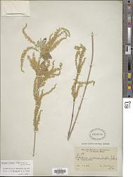 Aloysia virgata (Ruiz & Pav.) Pers.