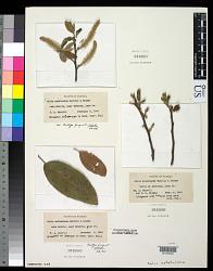 Salix astatulana Murrill & E.J. Palmer