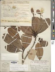 Manilkara bidentata subsp. surinamensis (Miq.) T.D. Penn.