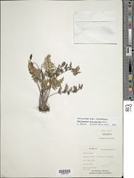 Myriopteris myriophylla (Desv.) J. Sm.