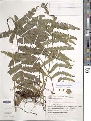Goniopteris scabra (C. Presl) Brade