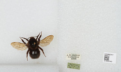 Jun 14 1925: Unidentified Stelfox Bee with corresponding field note
