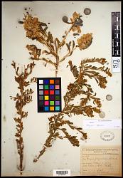 Grayia spinosa (Hook.) Moq.