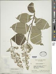 Cornutia pyramidata L.