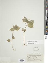 Circaea alpina subsp. alpina L.
