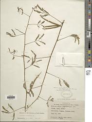 Mimosa quadrivalvis var. leptocarpa (DC.) Barneby