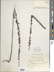 Oldenlandia polyphylla Urb.