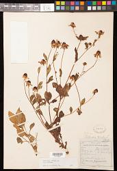 Rudbeckia triloba L.