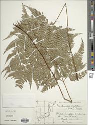 Arachniodes aristata (G. Forst.) Tindale